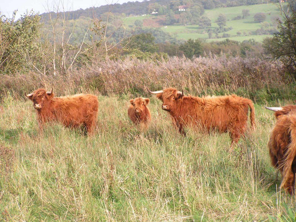Vaches Highlands Cattles au parc naturel régional des boucles de la Seine Normande